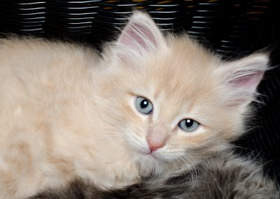 Chatons_Bleue-4